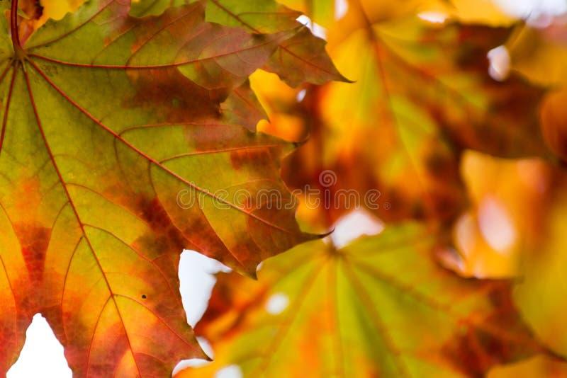 Fundo amarelo bonito das folhas de outono do vermelho alaranjado fotos de stock royalty free