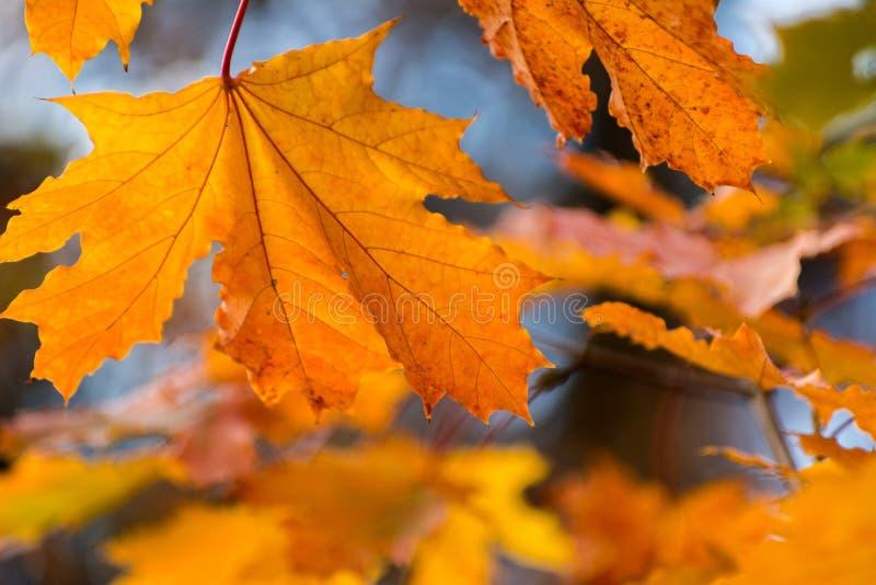 Fundo amarelo bonito das folhas de outono do vermelho alaranjado imagem de stock royalty free