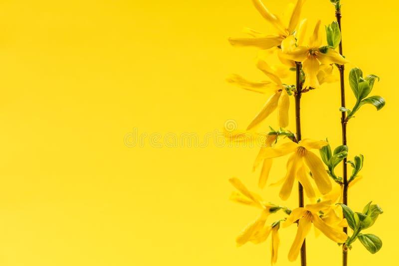 Fundo amarelo da mola com flores da forsítia fotos de stock