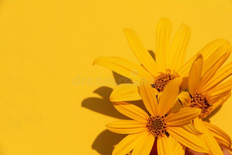 Fundo amarelo da mola da flor do sol bonito da planta da foto do ver?o imagens de stock