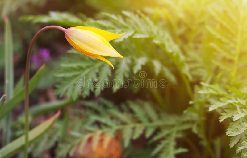 Fundo amarelo da natureza da flor com o alargamento morno do sol fotografia de stock