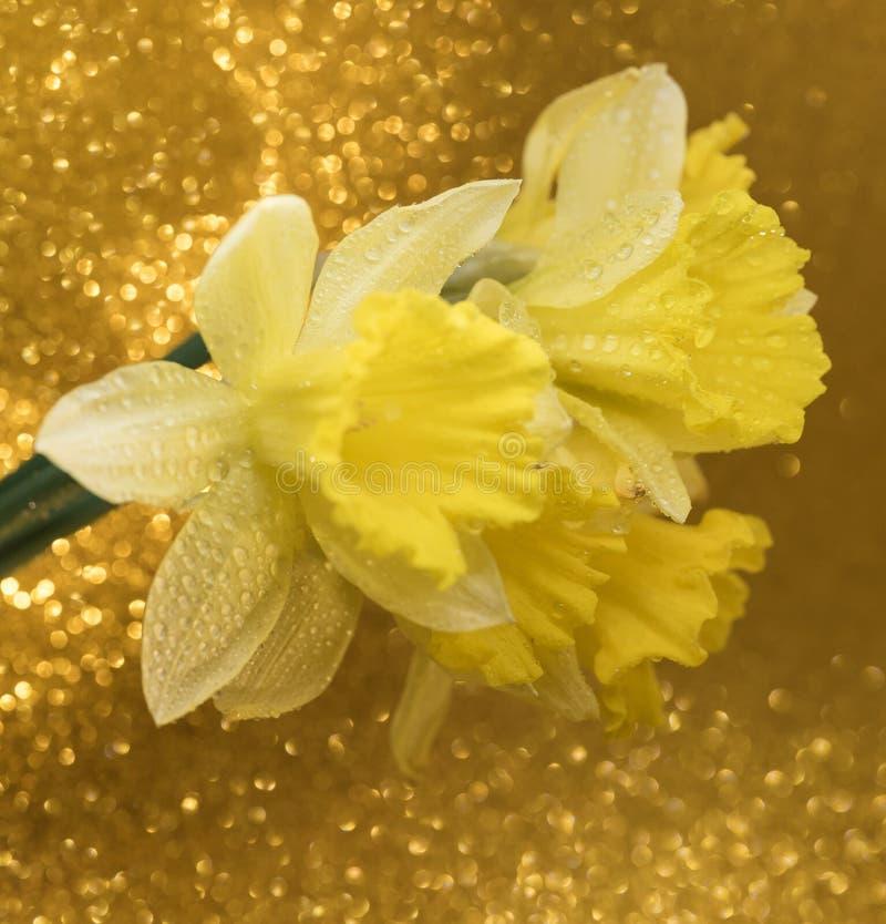 fundo amarelo do bokeh do close-up do ramalhete do narciso da flor fotografia de stock royalty free