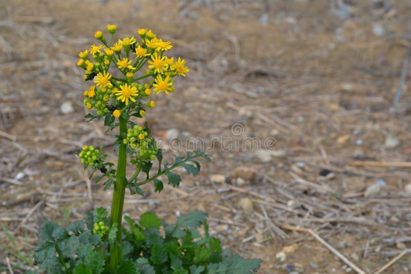 Fundo amarelo do Butterweed fotografia de stock royalty free
