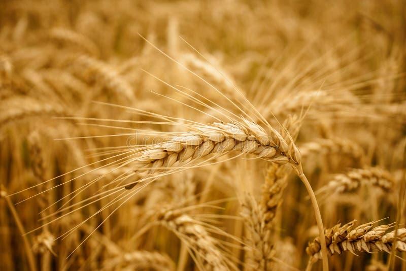 Fundo amarelo do campo das orelhas do trigo imagem de stock royalty free