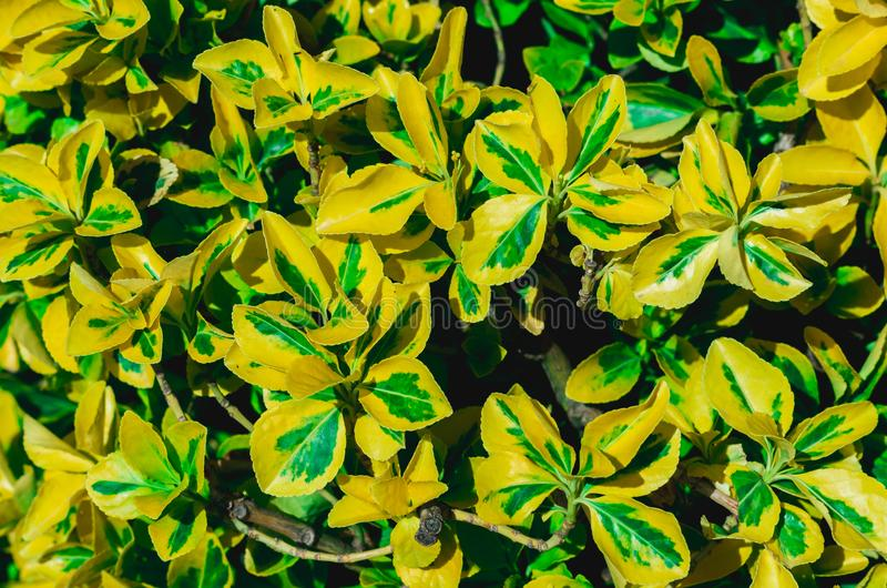 Fundo amarelo e verde homogêneo das folhas fotografia de stock