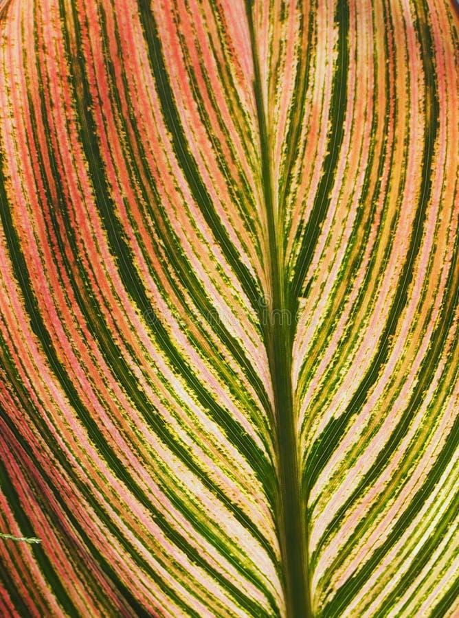 Fundo amarelo e verde vermelho da folha foto de stock
