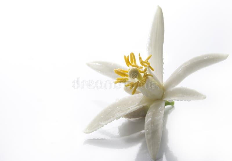 Fundo asiático da flor fotografia de stock royalty free