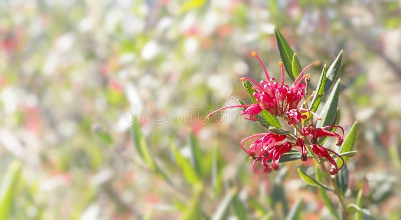 Fundo australiano dos pêsames de Grevillea da flor imagem de stock royalty free