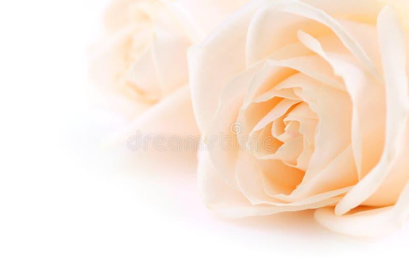 Fundo bege das rosas fotografia de stock