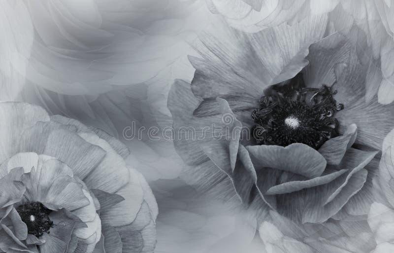 Fundo bonito branco-cinzento floral Composição da flor Flores das papoilas nas pétalas e em um fundo borrado fotos de stock