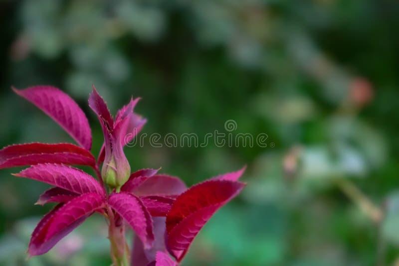 Fundo bonito com folhas cor-de-rosa foto de stock