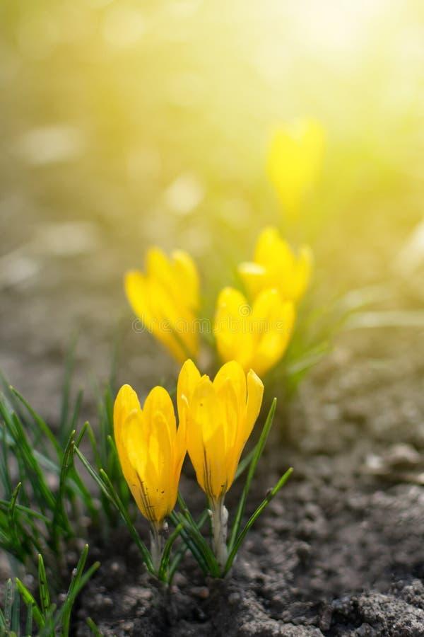 Fundo bonito da mola com close-up de florescer o açafrão amarelo e roxo Primeiras flores em um prado no parque sob o sol brilhant fotografia de stock