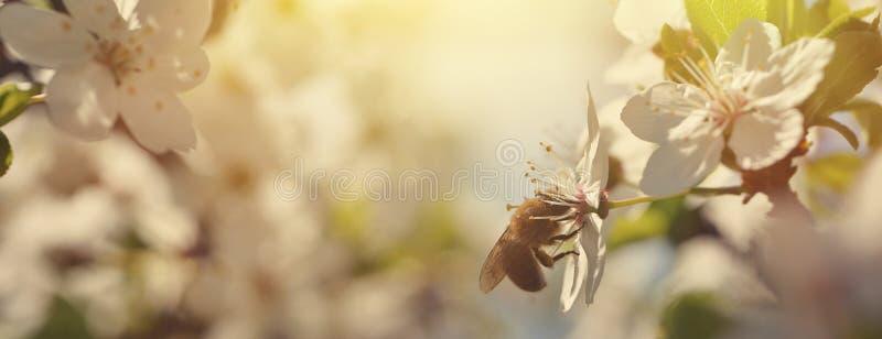 Fundo bonito da natureza com cerejas de florescência e uma abelha Apenas chovido sobre Fundo borrado do pomar sumário bonito imagem de stock