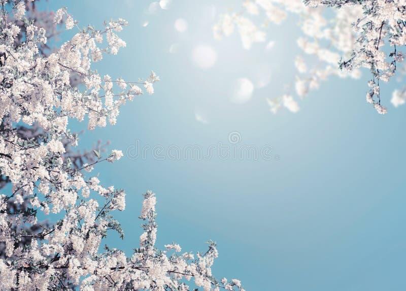 Fundo bonito da natureza da flor da mola com florescência branca da árvore no céu azul com luz do sol e bokeh fotos de stock royalty free