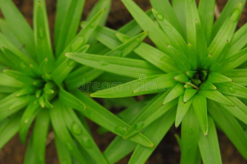 Fundo bonito das folhas do verde do lírio Flores do longiflorum do Lilium no jardim Textura das folhas imagem de stock royalty free