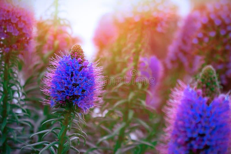 Fundo bonito do verão com grama de prado selvagem e as flores roxas nos raios do por do sol fotos de stock