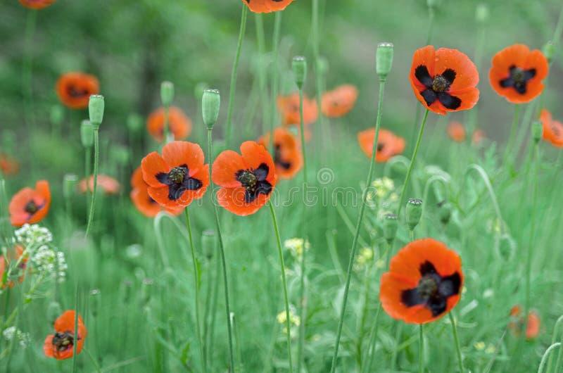 Fundo bonito natural com as flores selvagens vermelhas da papoila e grama azul verde na luz solar, paisagem natural rural imagens de stock royalty free