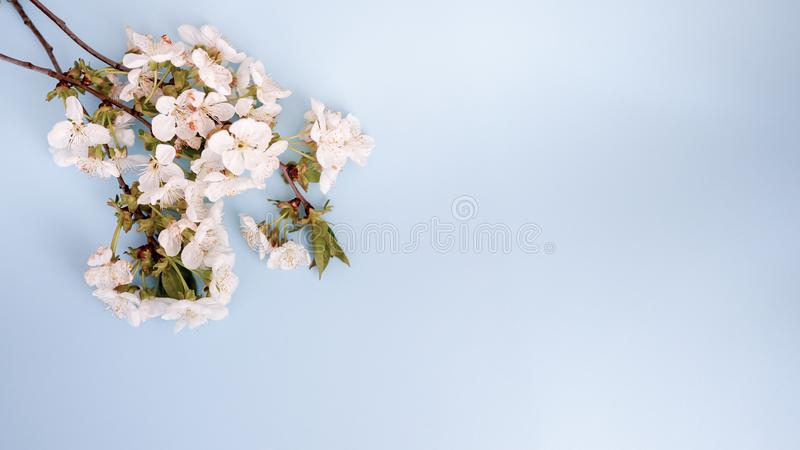 Fundo bonito pastel floral com flores brancas cartão azul com espaço da cópia fotos de stock