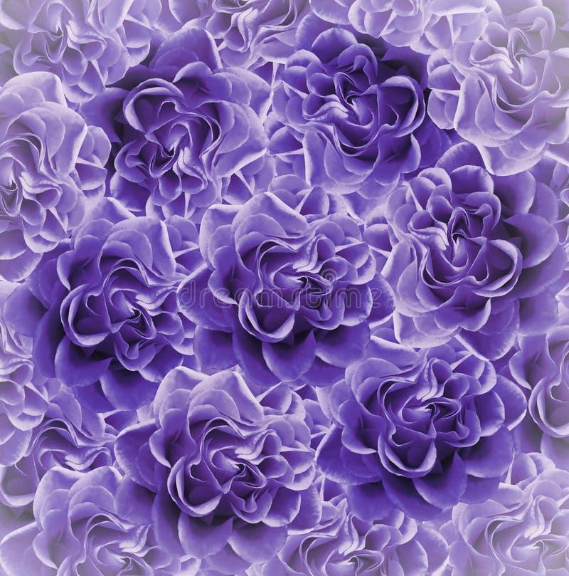 Fundo bonito roxo floral do vintage Composição da flor Ramalhete das flores das rosas violetas Close-up fotos de stock royalty free