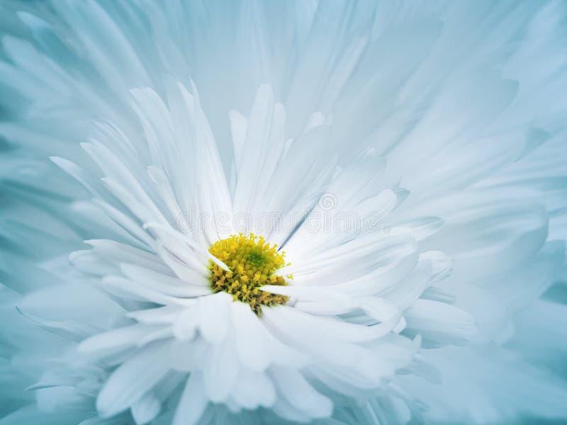 Fundo bonito turquesa-branco floral Uma flor de um crisântemo branco contra um fundo da luz - pétalas azuis Close-up imagem de stock