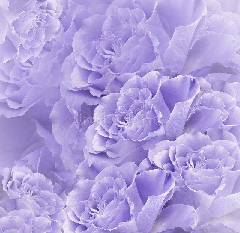 Fundo bonito violeta-branco floral Composição da flor Ramalhete das flores da luz - rosas roxas Close-up foto de stock royalty free