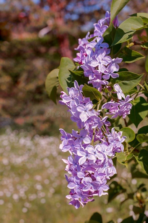 Fundo borrado abstrato com bokeh e ramo de florescência do lilás ou do syringa na primavera Papel de parede da natureza da mola fotografia de stock royalty free
