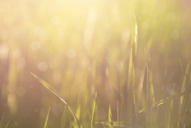 Fundo borrado abstrato do bokeh da natureza Grama na luz solar imagem de stock