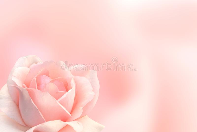 Fundo borrado com a rosa da cor cor-de-rosa imagens de stock royalty free