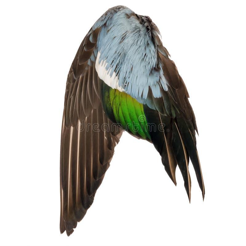 Fundo branco azul verde cinzento do marrom real do anjo da asa do pássaro do pato selvagem fotografia de stock