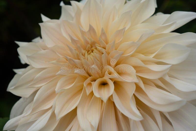 Fundo branco de Dahlia Close Up Against Black fotos de stock