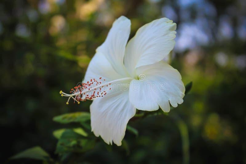 Fundo branco do borrão da flor de rosa-sinensis do hibiscus imagem de stock royalty free