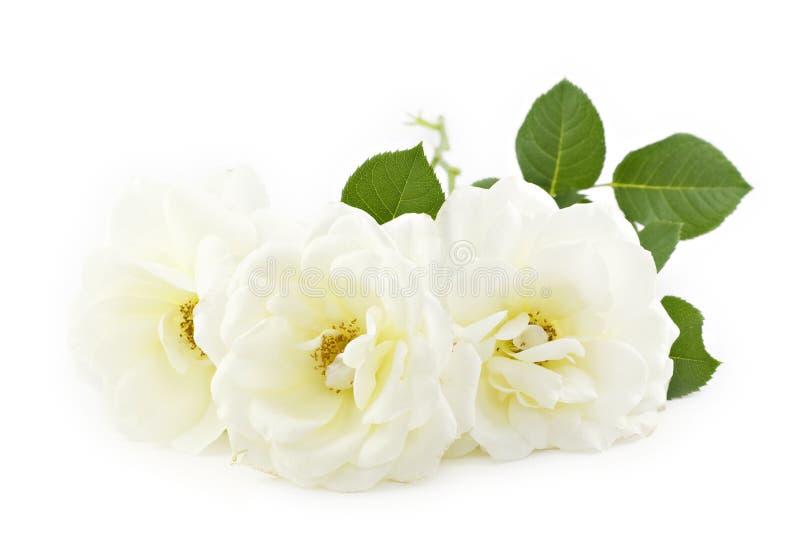Fundo Branco Do Branco Das Rosas Imagem de Stock