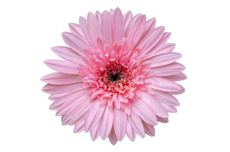 Fundo branco do isolado cor-de-rosa da flor fotos de stock royalty free