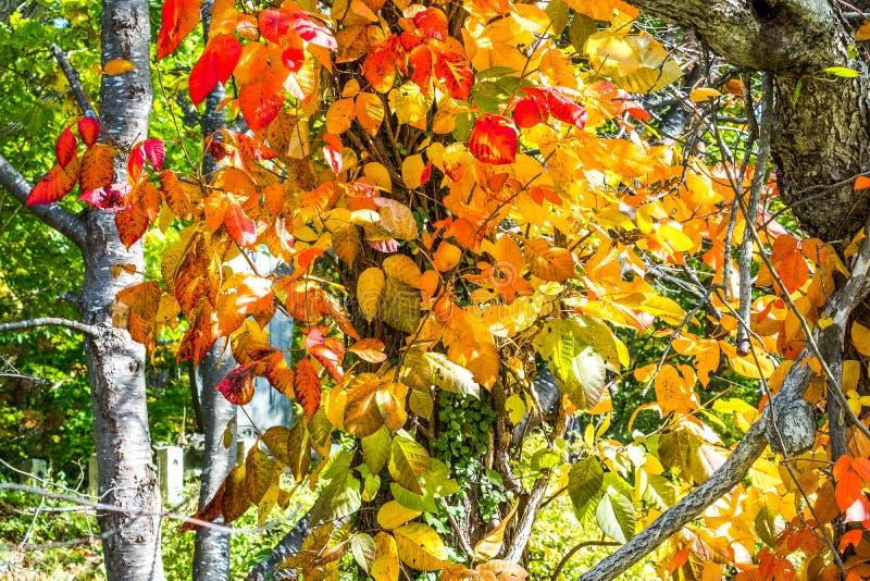 Fundo branco do ramo do bordo na estação no fundo do céu, luz solar do outono na queda Montanhista das folhas de outono no t fotos de stock