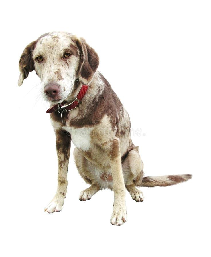 Fundo branco isolado da face cão triste foto de stock