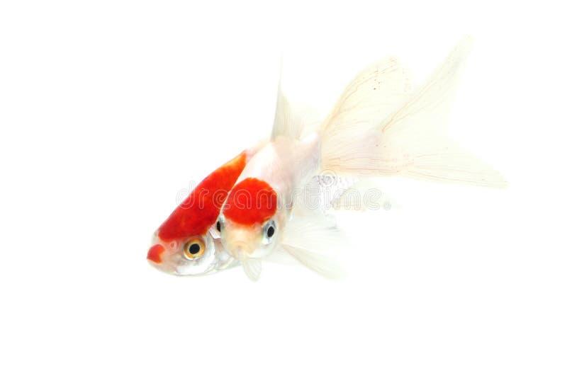 Fundo branco isolado peixes de Koi imagem de stock royalty free