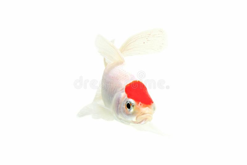 Fundo branco isolado peixes de Koi imagens de stock