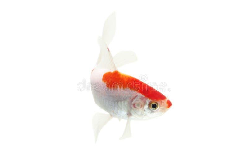 Fundo branco isolado peixes de Koi imagem de stock