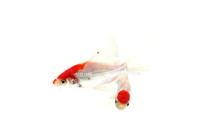 Fundo branco isolado peixes de Koi fotografia de stock royalty free