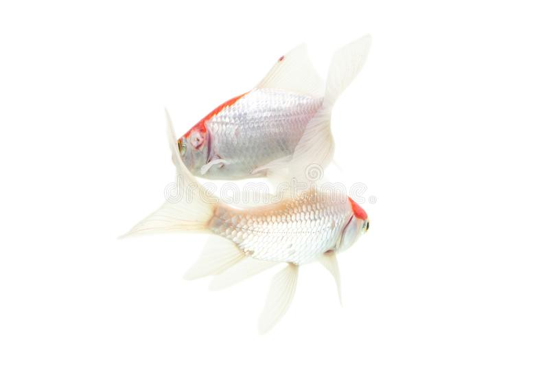 Fundo branco isolado peixes de Koi imagens de stock royalty free