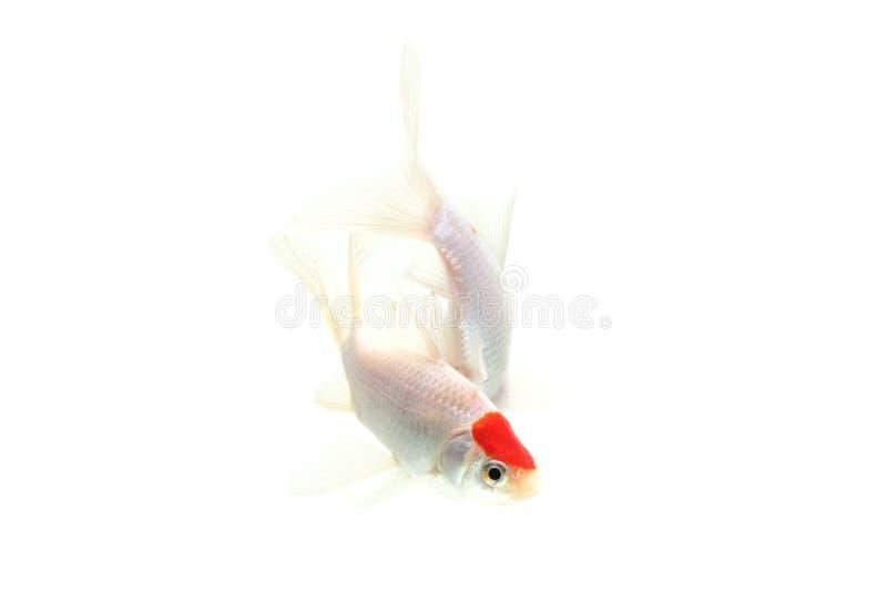 Fundo branco isolado peixes de Koi foto de stock royalty free