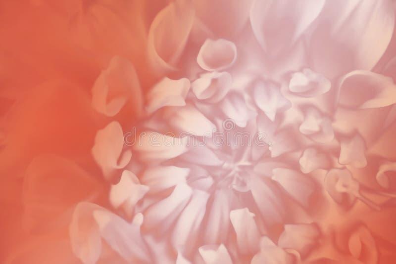 Fundo branco-vermelho floral Fundo de um close-up da flor da dália Macro imagem de stock
