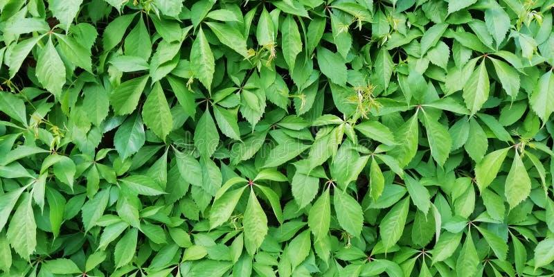 Fundo brilhante do ver?o Parede das folhas verdes de uvas de menina decorativas fotos de stock