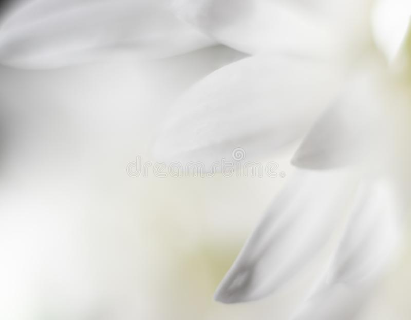 Fundo calmo branco das pétalas da flor imagem de stock