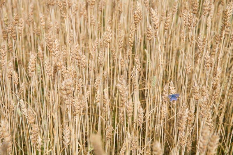 Fundo - campo de trigo do verão com a borboleta azul bonita nave Campo ou prado do campo imagens de stock royalty free