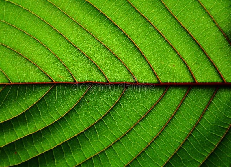 Fundo-close up bonito da textura da folha do speciosa do à¸-itragyna fotografia de stock