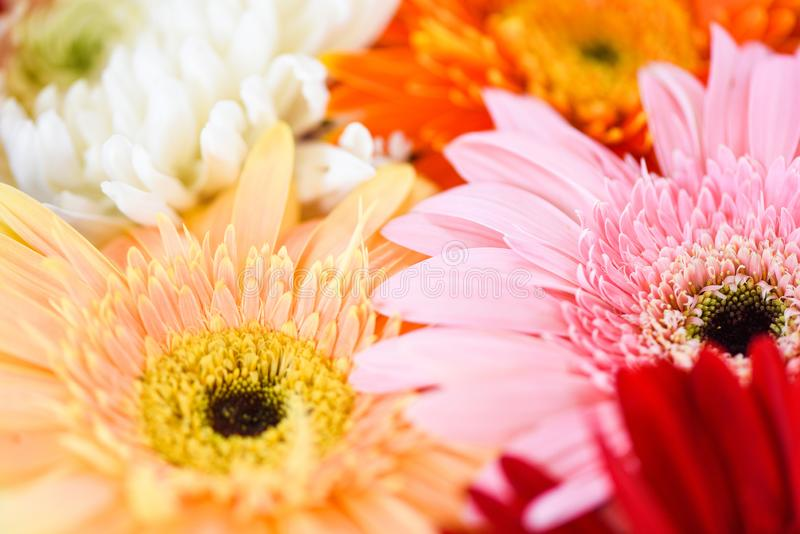 fundo colorido da flor do crisântemo do gerbera da planta do grupo das flores da mola imagem de stock royalty free