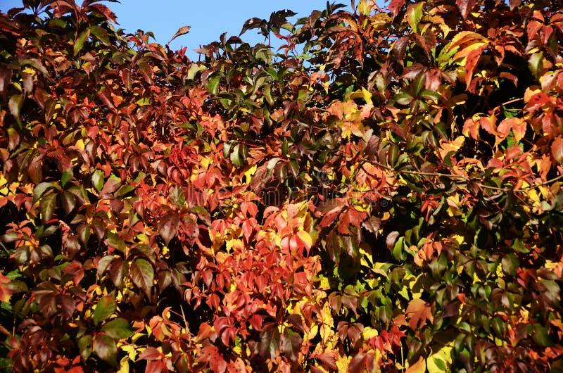 Fundo colorido das folhas do outono foto de stock royalty free