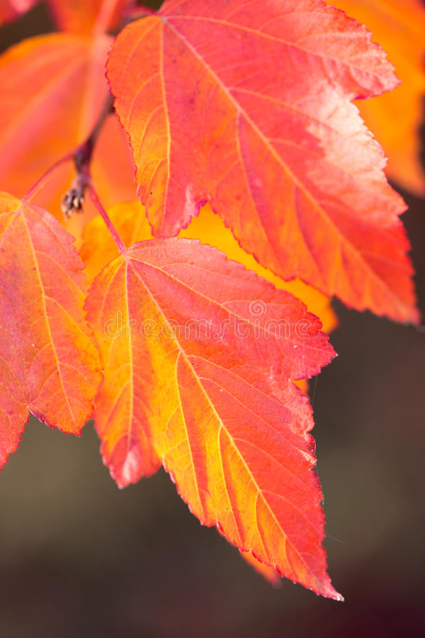 Fundo colorido surpreendente das folhas de outono, foco macio fotos de stock