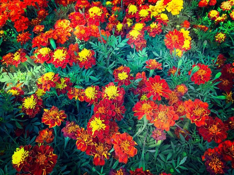 Fundo colorido vívido do campo de flor imagens de stock